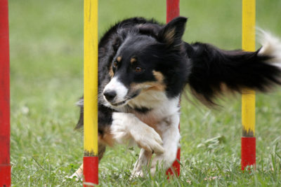 a border collie doing slalom obstacle in agility